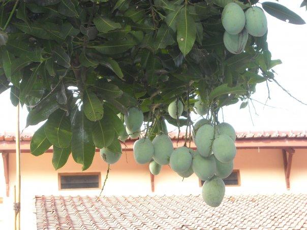 Pohon mangga depan rumah saat berbuah