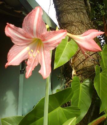 Bunga Lili di depan rumah