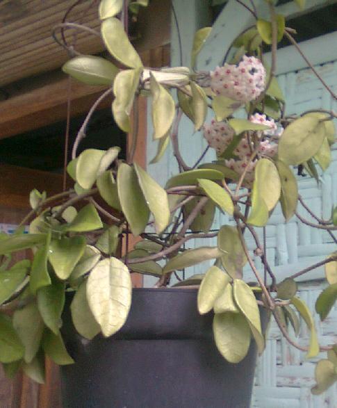 Rangkaian tanaman dalam pot gantung.