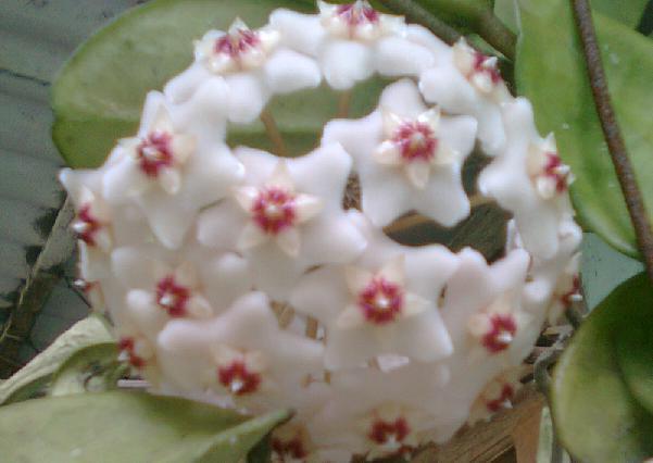 Sekuntum bunga hoya atau bunga lampion.