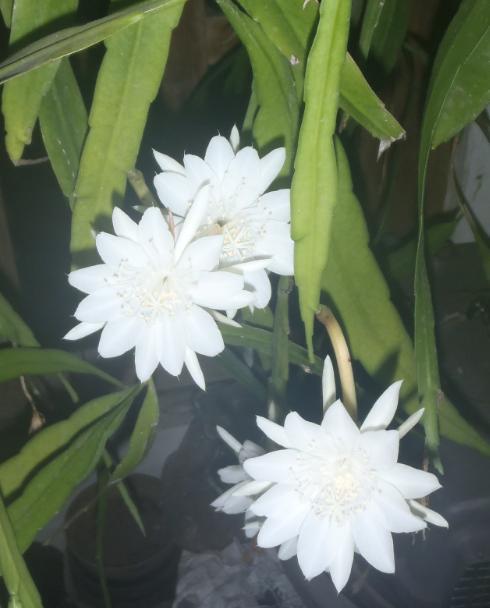 Semarak warna putih saat mekar di malam hari.