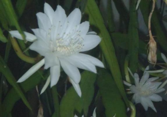 Kelopak bunga berwana putih berukuran 8 cm.