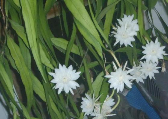 Bunga wijayakusuma putih.