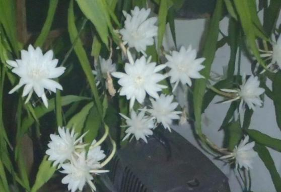 Semarak bunga wijayakusuma mini.