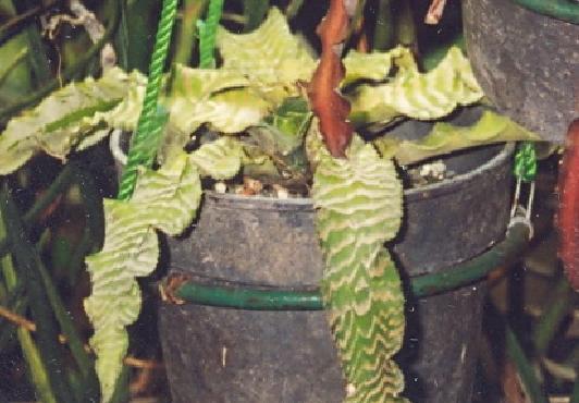 Crypthantus warna hijau lorek.