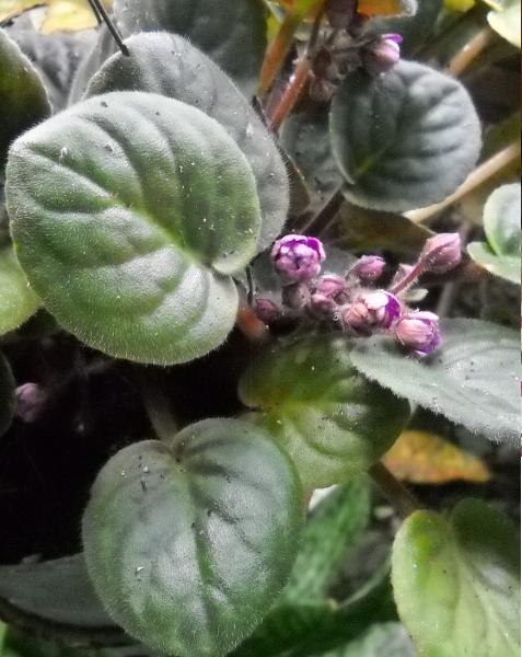 Bunga violces di pot halaman depan.